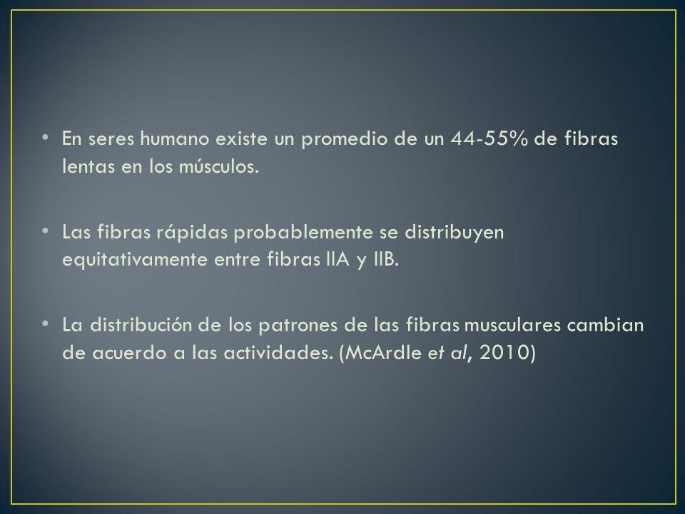 En seres humano existe un promedio de un 44-55% de fibras lentas en los músculos. Las fibras rápidas probablemente se distribuyen equitativamente entr