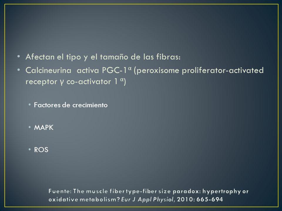 Afectan el tipo y el tamaño de las fibras: Calcineurina activa PGC-1 α ( peroxisome proliferator-activated receptor γ co-activator 1 α ) Factores de c