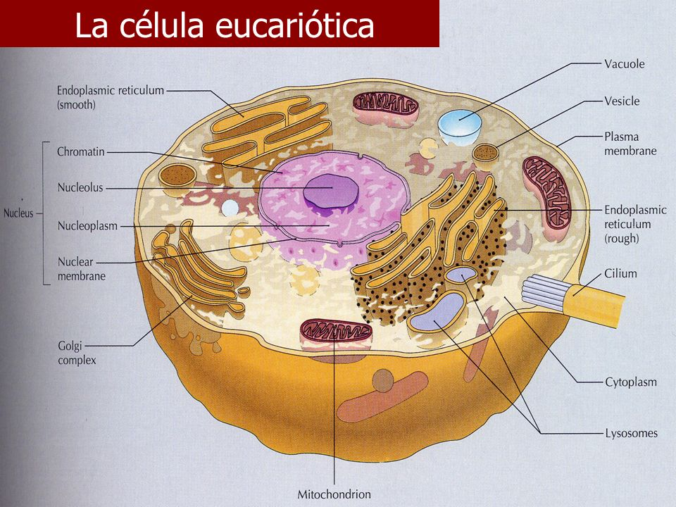 E. Rodríguez, UCR La célula eucariótica