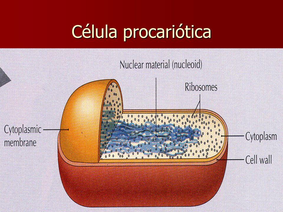 E. Rodríguez, UCR Célula procariótica