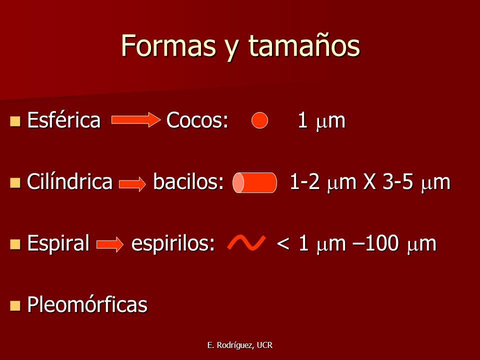 E. Rodríguez, UCR Formas y tamaños Esférica Cocos: 1 m Esférica Cocos: 1 m Cilíndrica bacilos: 1-2 m X 3-5 m Cilíndrica bacilos: 1-2 m X 3-5 m Espiral