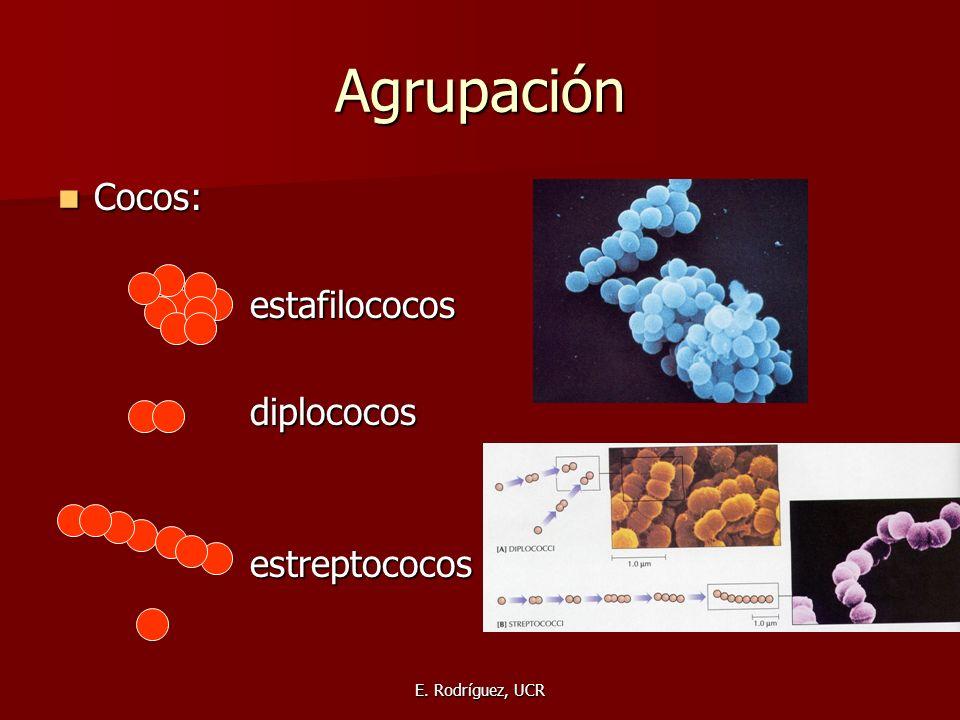 Agrupación Cocos: Cocos:estafilococosdiplococosestreptococos