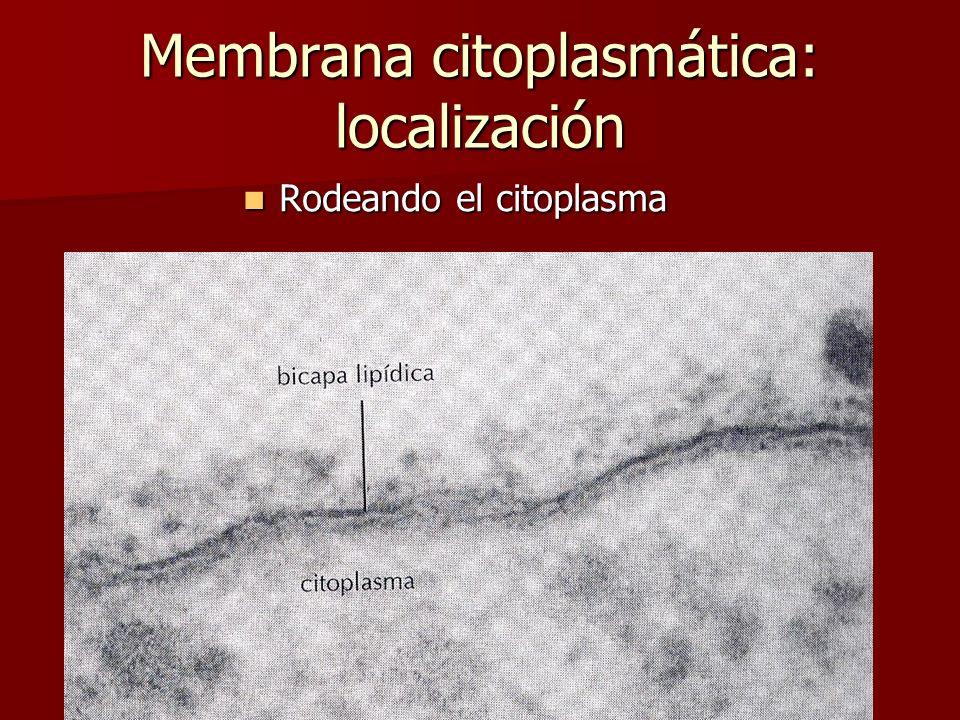E. Rodríguez, UCR Membrana citoplasmática: localización Rodeando el citoplasma Rodeando el citoplasma