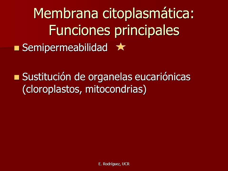 E. Rodríguez, UCR Membrana citoplasmática: Funciones principales Semipermeabilidad Semipermeabilidad Sustitución de organelas eucariónicas (cloroplast