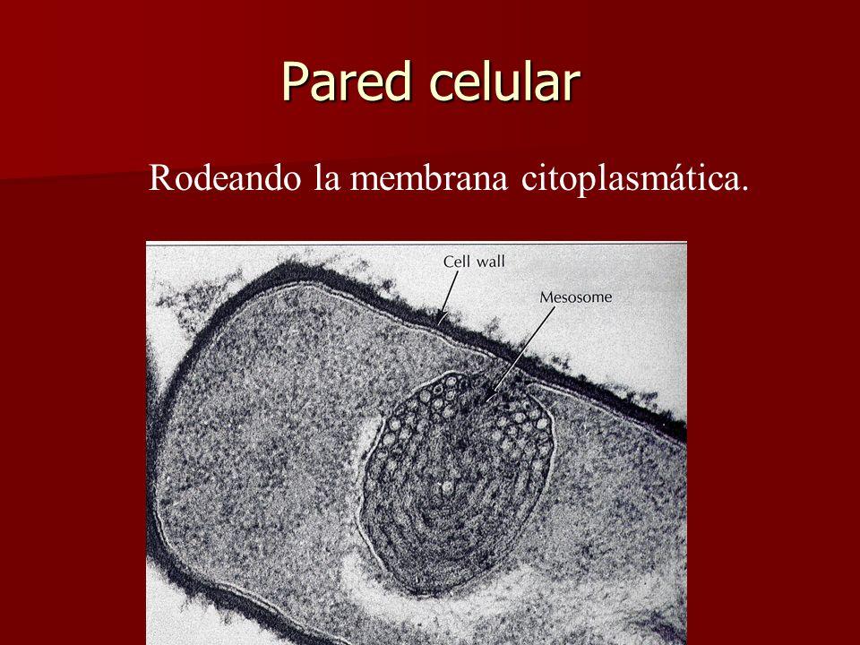 E. Rodríguez, UCR Pared celular Rodeando la membrana citoplasmática.