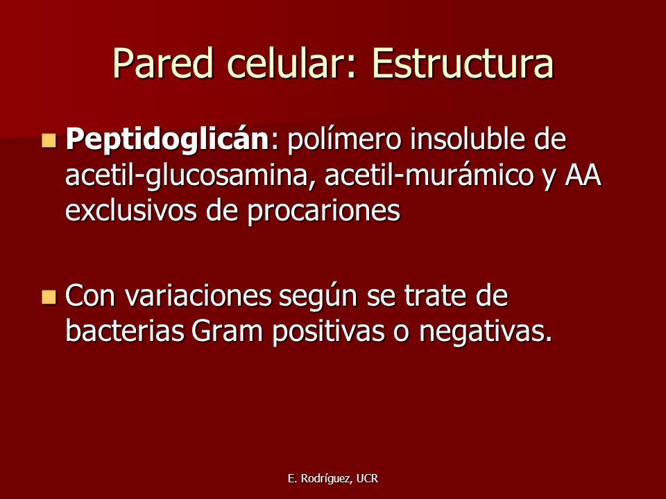 E. Rodríguez, UCR Pared celular: Estructura Peptidoglicán: polímero insoluble de acetil-glucosamina, acetil-murámico y AA exclusivos de procariones Pe