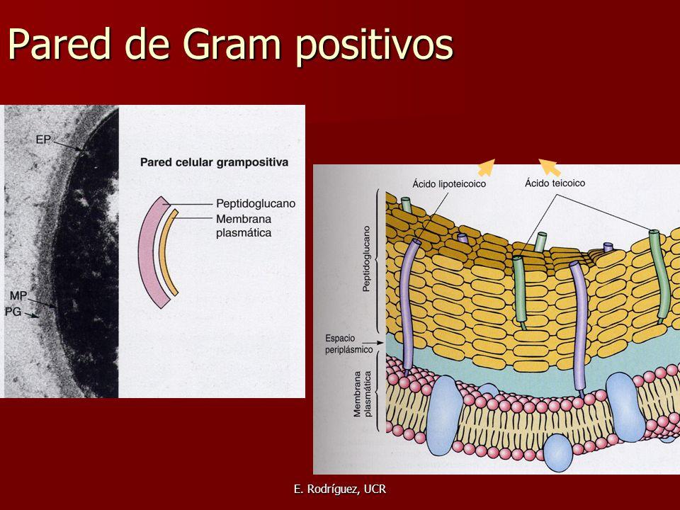 E. Rodríguez, UCR Pared de Gram positivos