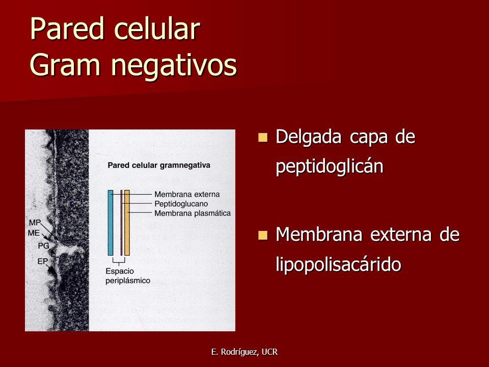 E. Rodríguez, UCR Pared celular Gram negativos Delgada capa de peptidoglicán Delgada capa de peptidoglicán Membrana externa de lipopolisacárido Membra