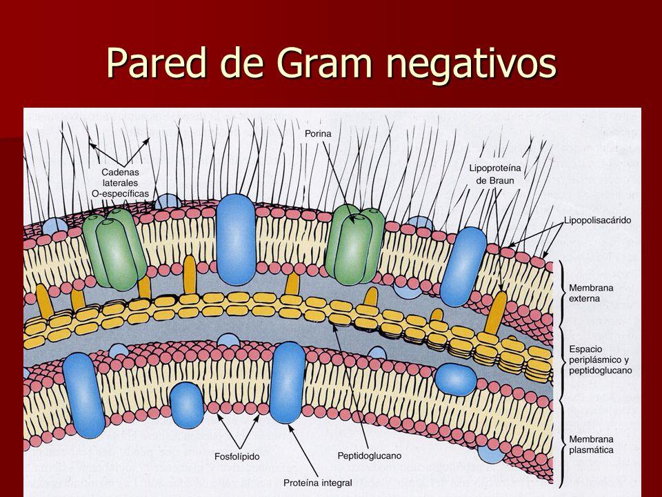 E. Rodríguez, UCR Pared de Gram negativos