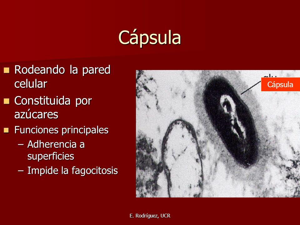 E. Rodríguez, UCR Cápsula Rodeando la pared celular Rodeando la pared celular Constituida por azúcares Constituida por azúcares Funciones principales