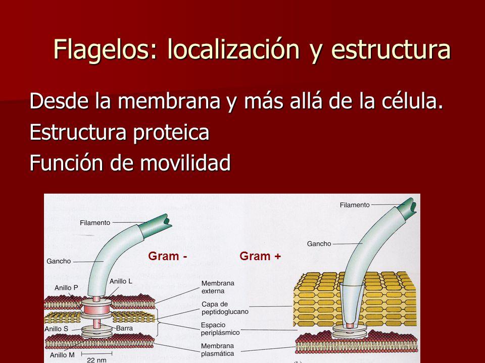 E. Rodríguez, UCR Flagelos: localización y estructura Desde la membrana y más allá de la célula. Estructura proteica Función de movilidad Gram -Gram +