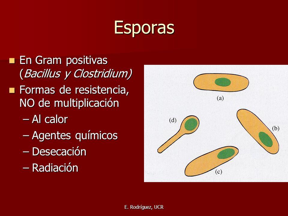 E. Rodríguez, UCR Esporas En Gram positivas (Bacillus y Clostridium) En Gram positivas (Bacillus y Clostridium) Formas de resistencia, NO de multiplic