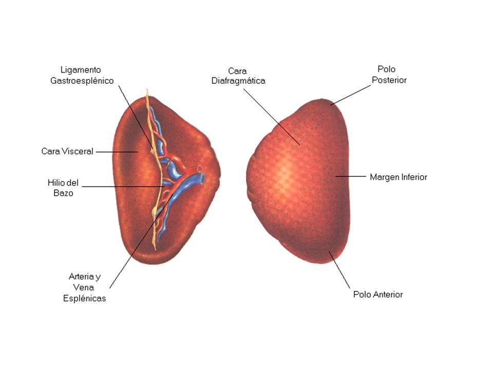 La sustancia del bazo se llama pulpa esplénica, que desde los puntos de vista morfológico y funcional puede divertirse en dos regiones: pulpa blanca y pulpa roja El bazo está rodeado por una cápsula de tejido conjuntivo denso desde la cual parte trabéculas hacia el parénquima del órgano.
