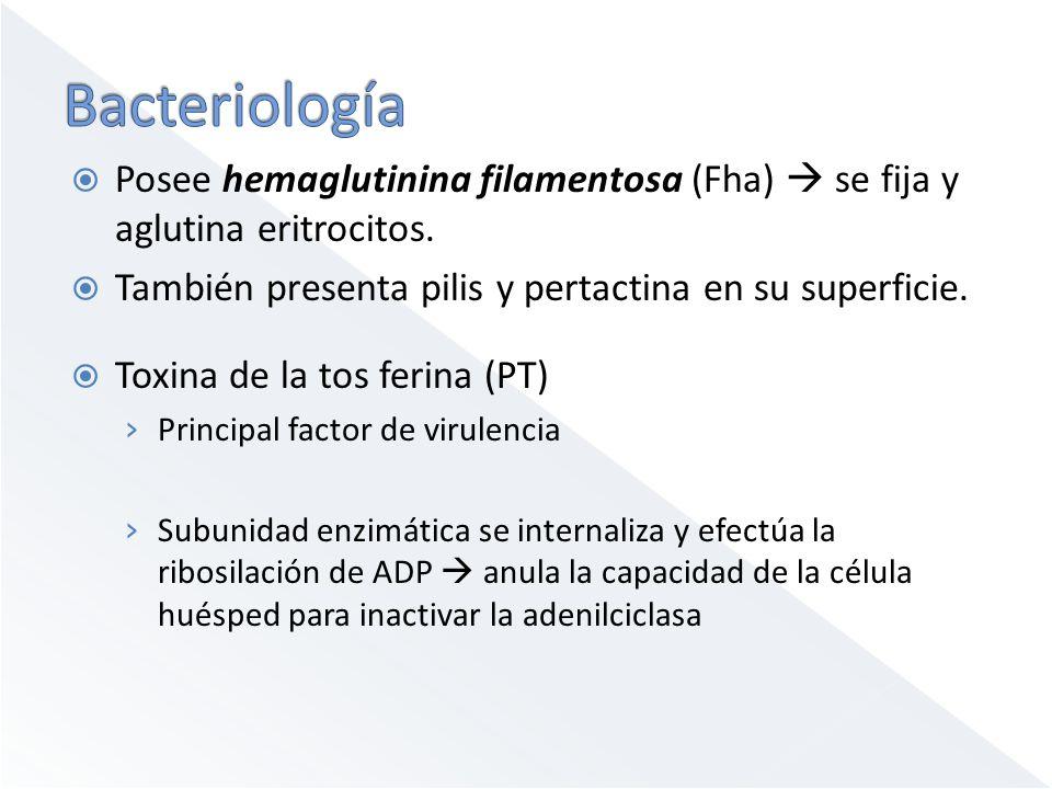 Posee hemaglutinina filamentosa (Fha) se fija y aglutina eritrocitos. También presenta pilis y pertactina en su superficie. Toxina de la tos ferina (P