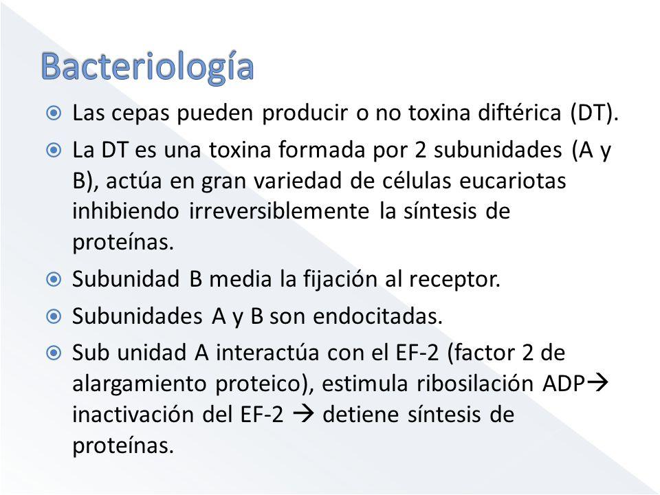 Las cepas pueden producir o no toxina diftérica (DT). La DT es una toxina formada por 2 subunidades (A y B), actúa en gran variedad de células eucario