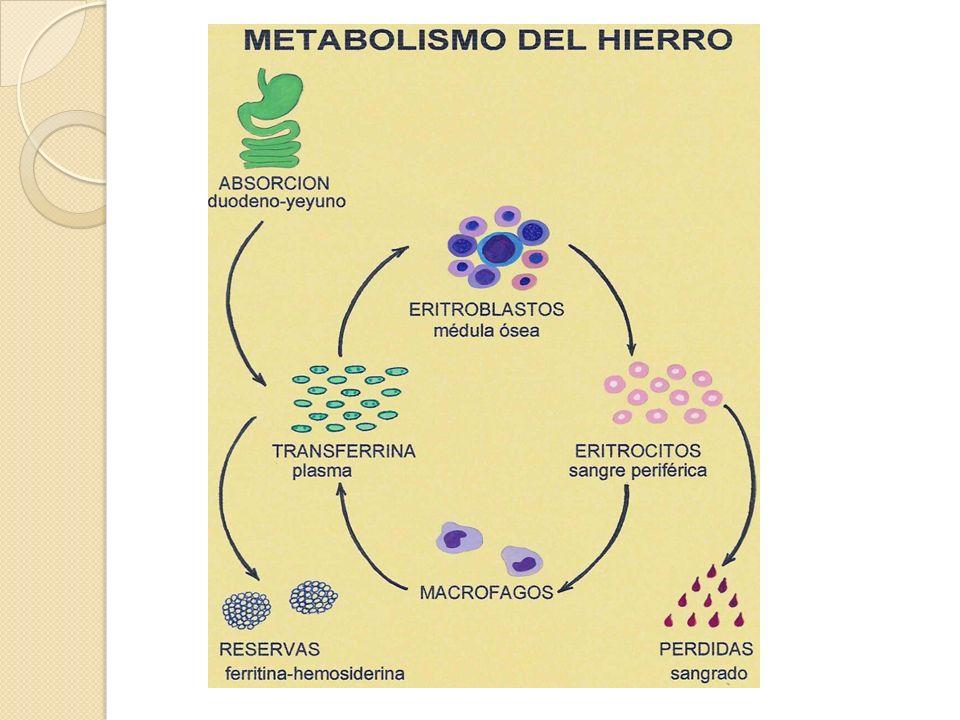Homeostasis del Hierro Epitelio del duodeno: sensa los cambios en las demandas de Fe +2 y se adapta para alcanzarlas.