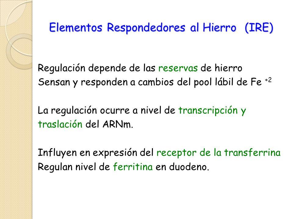 Elementos Respondedores al Hierro (IRE) Regulación depende de las reservas de hierro Sensan y responden a cambios del pool lábil de Fe +2 La regulació