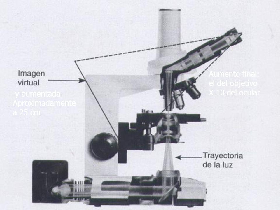 y aumentada Aproximadamente a 25 cm Aumento final: el del objetivo X 10 del ocular