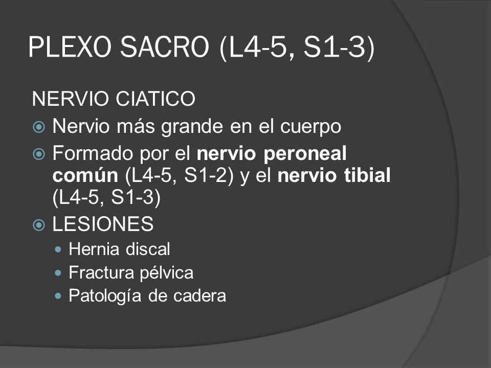 PLEXO SACRO (L4-5, S1-3) NERVIO CIATICO Nervio más grande en el cuerpo Formado por el nervio peroneal común (L4-5, S1-2) y el nervio tibial (L4-5, S1-