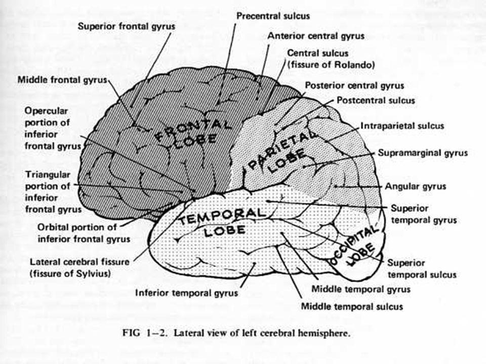 CORTEZA MOTORA Parte posterior de los lóbulos frontales: Area pre-central (4 de Brodmann, células de Betz).