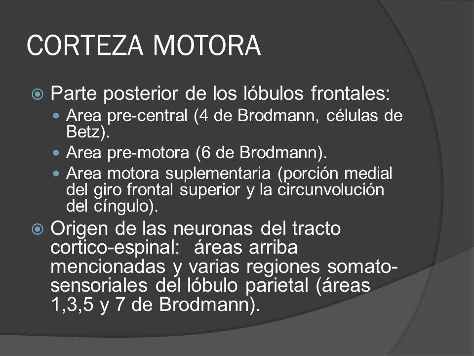 CORTEZA MOTORA Parte posterior de los lóbulos frontales: Area pre-central (4 de Brodmann, células de Betz). Area pre-motora (6 de Brodmann). Area moto