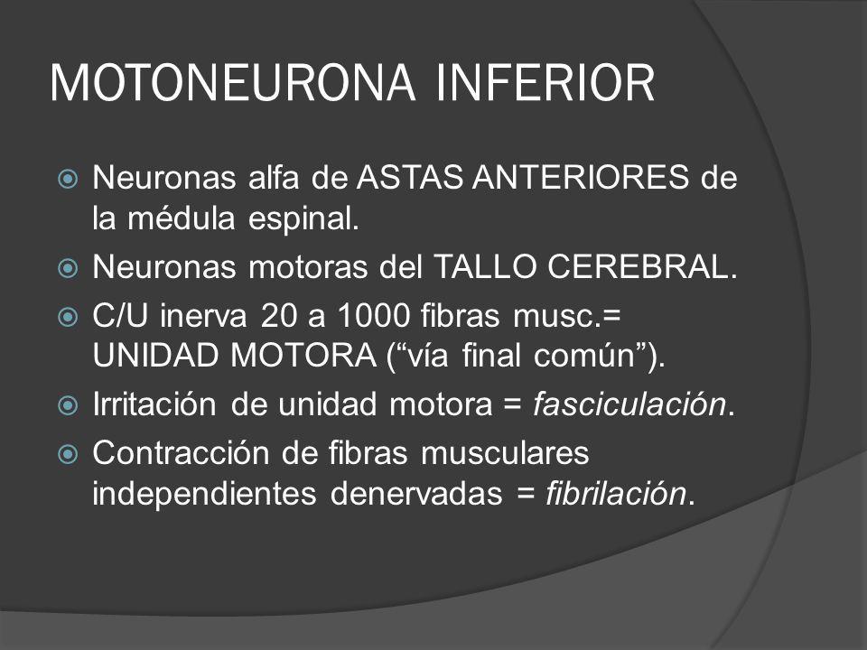 MOTONEURONA INFERIOR Neuronas alfa de ASTAS ANTERIORES de la médula espinal. Neuronas motoras del TALLO CEREBRAL. C/U inerva 20 a 1000 fibras musc.= U