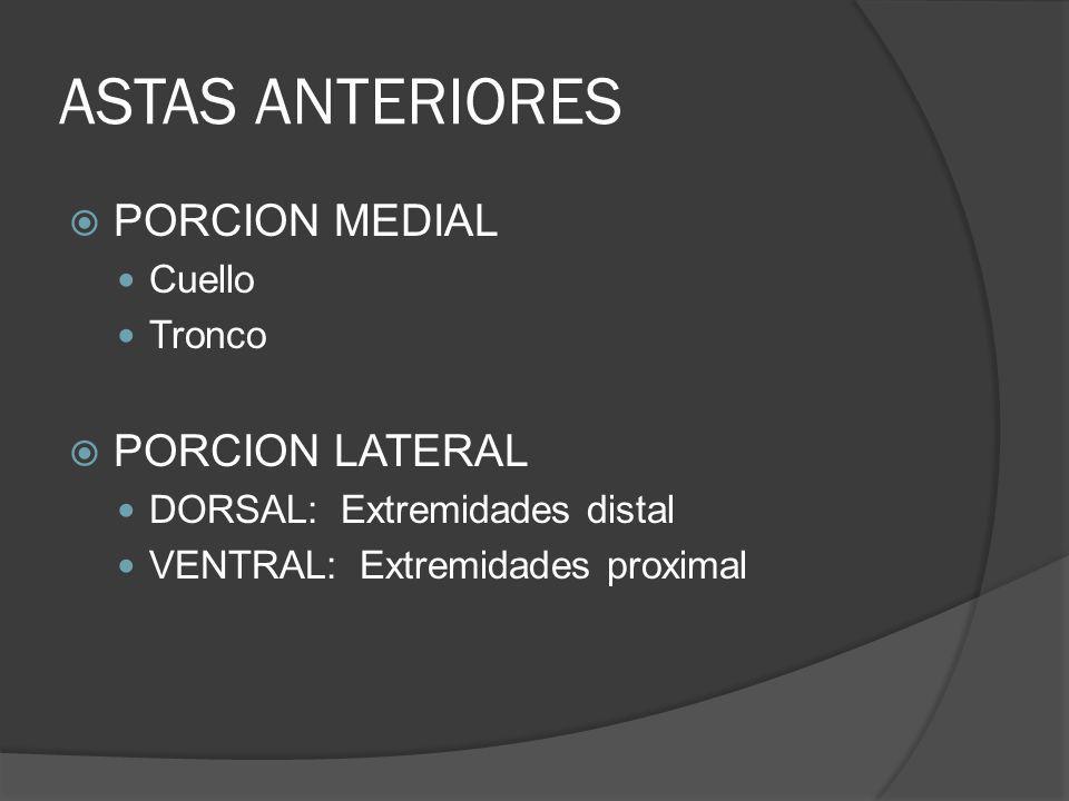 ASTAS ANTERIORES PORCION MEDIAL Cuello Tronco PORCION LATERAL DORSAL: Extremidades distal VENTRAL: Extremidades proximal