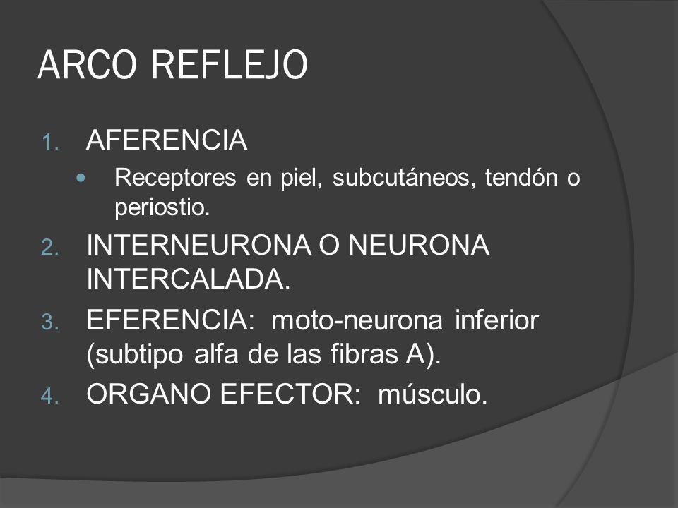 ARCO REFLEJO 1. AFERENCIA Receptores en piel, subcutáneos, tendón o periostio. 2. INTERNEURONA O NEURONA INTERCALADA. 3. EFERENCIA: moto-neurona infer