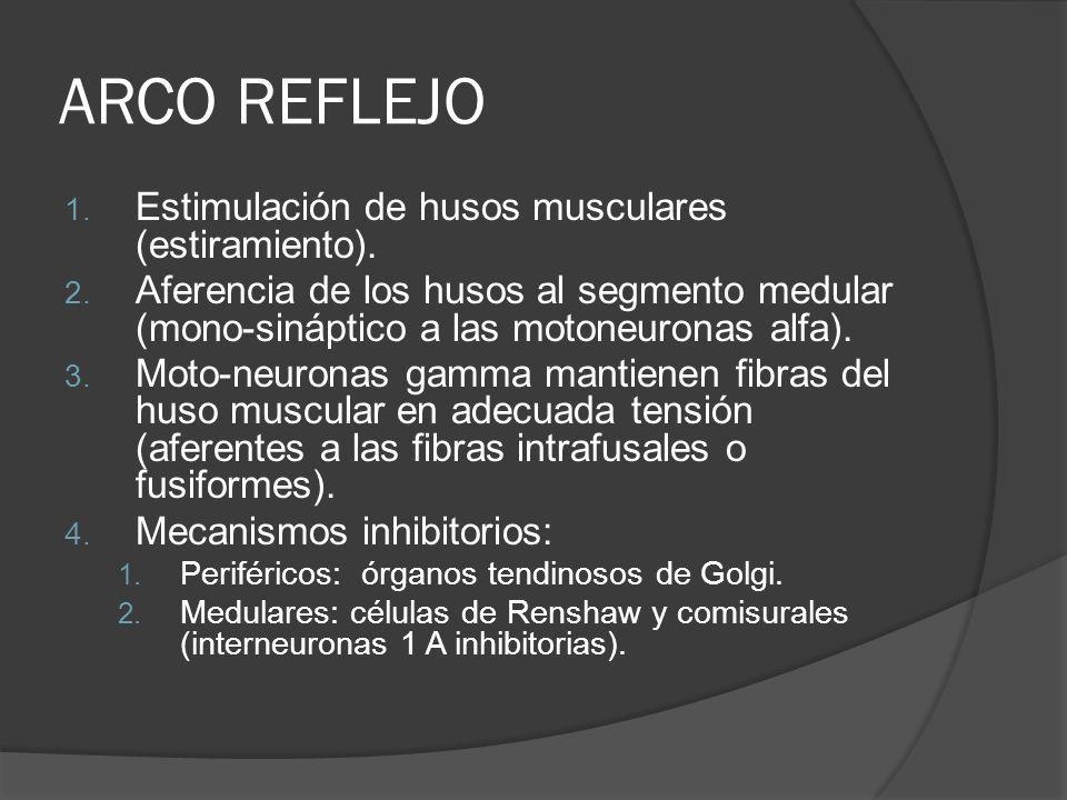 ARCO REFLEJO 1. Estimulación de husos musculares (estiramiento). 2. Aferencia de los husos al segmento medular (mono-sináptico a las motoneuronas alfa