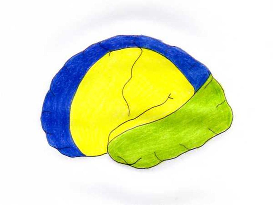 NERVIO MEDIANO Cabeza medial nace del cordón medial y cabeza lateral nace del cordón lateral (C6- 8, T1) Músculos flexores y pronadores del antebrazo, lumbricales 1 y 2, eminencia tenar Sensitivo: aspecto palmar del pulgar y 2 ½ dedos laterales y sus porciones apicales Lesiones: laceraciones en brazo, antebrazo y muñeca; sueño prolongado, anestesia; fracturas del codo; neuropatía; síndrome del túnel carpal