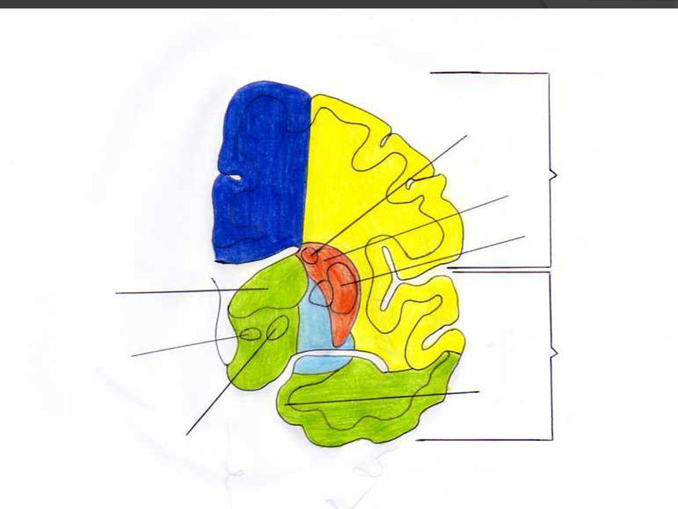REFLEJOS CUTANEOS SUPERFICIALES PALMAR: nervios mediano y ulnar (C6- T1) Flexión dedos o cierre de la mano ABDOMINALES: Epigástrico: T5-7 Supraumbilical: T7-9 Umbilical: T9-11 Infraumbilical: T11-12, nervios iliohipogástrico e ilioinguinal Latencia es mayor y respuesta más lenta en AM