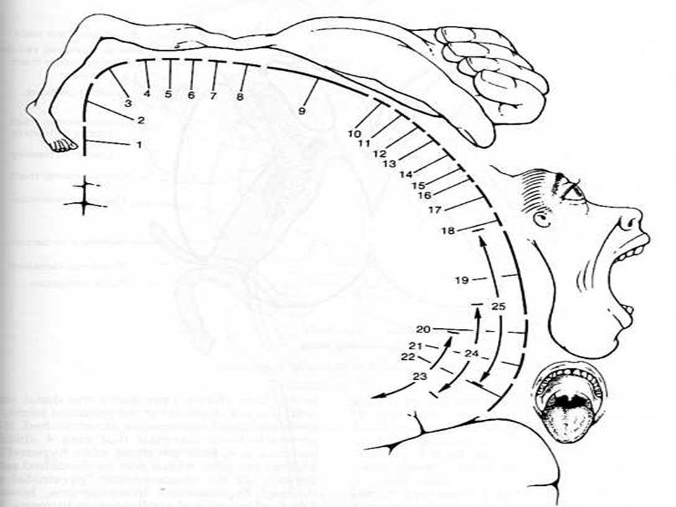 PLEXO BRAQUIAL (C5-8, T1-2) TRONCO SUPERIOR: C5-6 TRONCO MEDIO: C7 TRONCO INFERIOR: C8-T1 Divisiones anteriores de TS y TM forman el cordón lateral División anterior de TI forma el cordón medial Divisiones posteriores de todos los troncos forman el cordón posterior