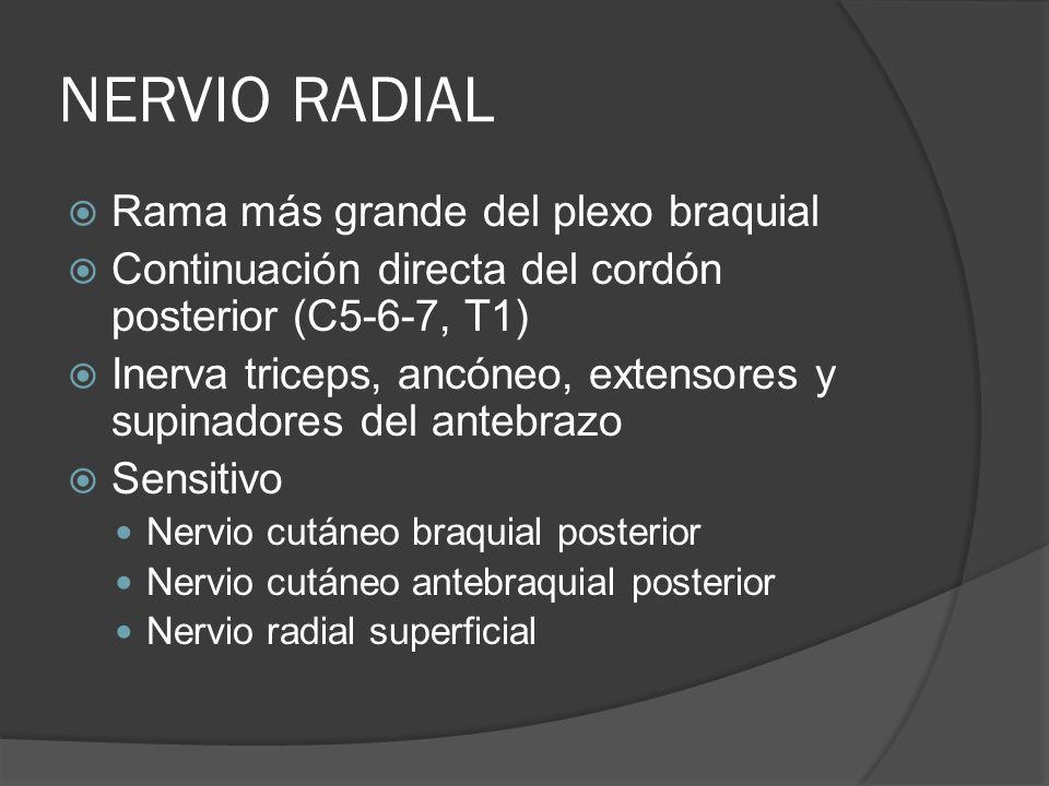 NERVIO RADIAL Rama más grande del plexo braquial Continuación directa del cordón posterior (C5-6-7, T1) Inerva triceps, ancóneo, extensores y supinado