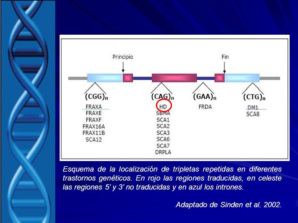 Esquema de la localización de tripletas repetidas en diferentes trastornos genéticos. En rojo las regiones traducidas, en celeste las regiones 5 y 3 n