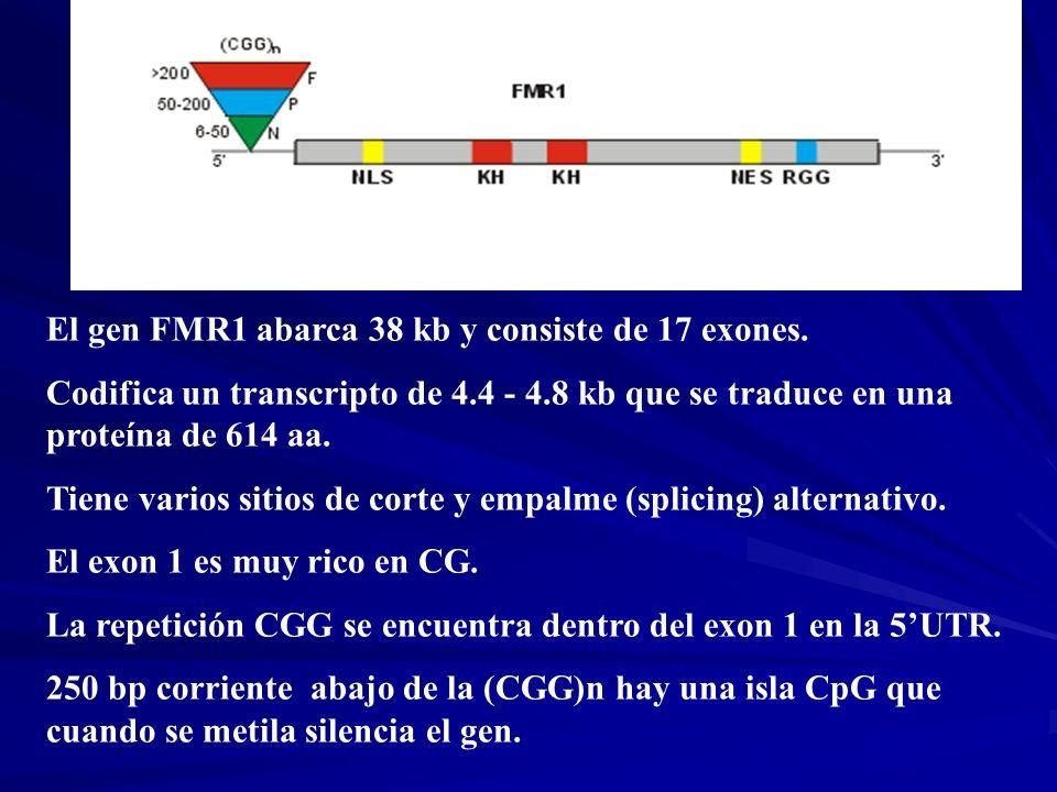 El gen FMR1 abarca 38 kb y consiste de 17 exones. Codifica un transcripto de 4.4 - 4.8 kb que se traduce en una proteína de 614 aa. Tiene varios sitio