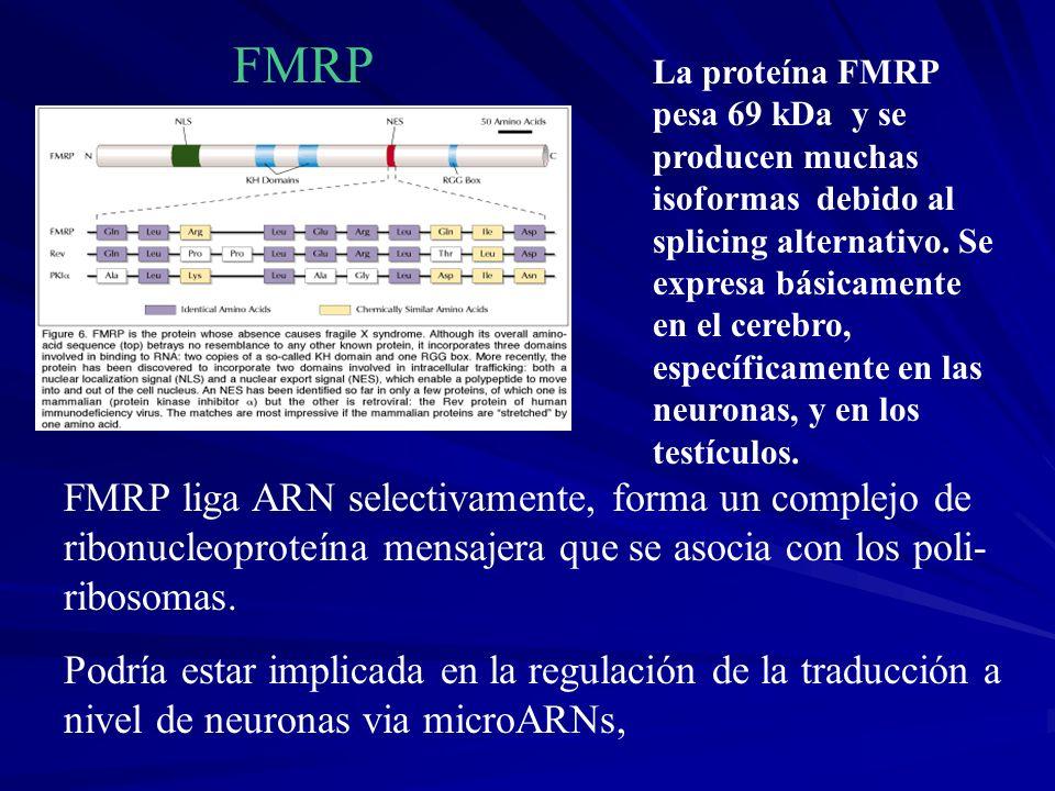 FMRP FMRP liga ARN selectivamente, forma un complejo de ribonucleoproteína mensajera que se asocia con los poli- ribosomas. Podría estar implicada en