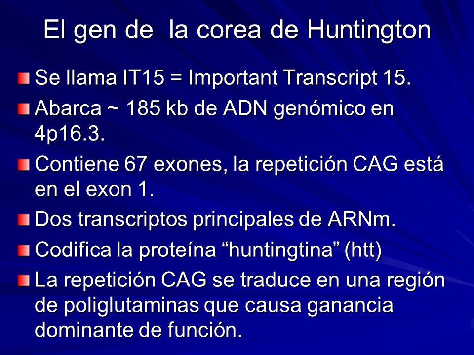 El gen de la corea de Huntington Se llama IT15 = Important Transcript 15. Abarca ~ 185 kb de ADN genómico en 4p16.3. Contiene 67 exones, la repetición