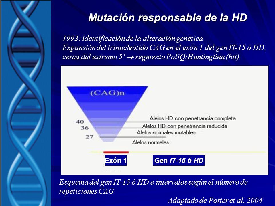 Mutación responsable de la HD Esquema del gen IT-15 ó HD e intervalos según el número de repeticiones CAG Adaptado de Potter et al. 2004 1993: identif