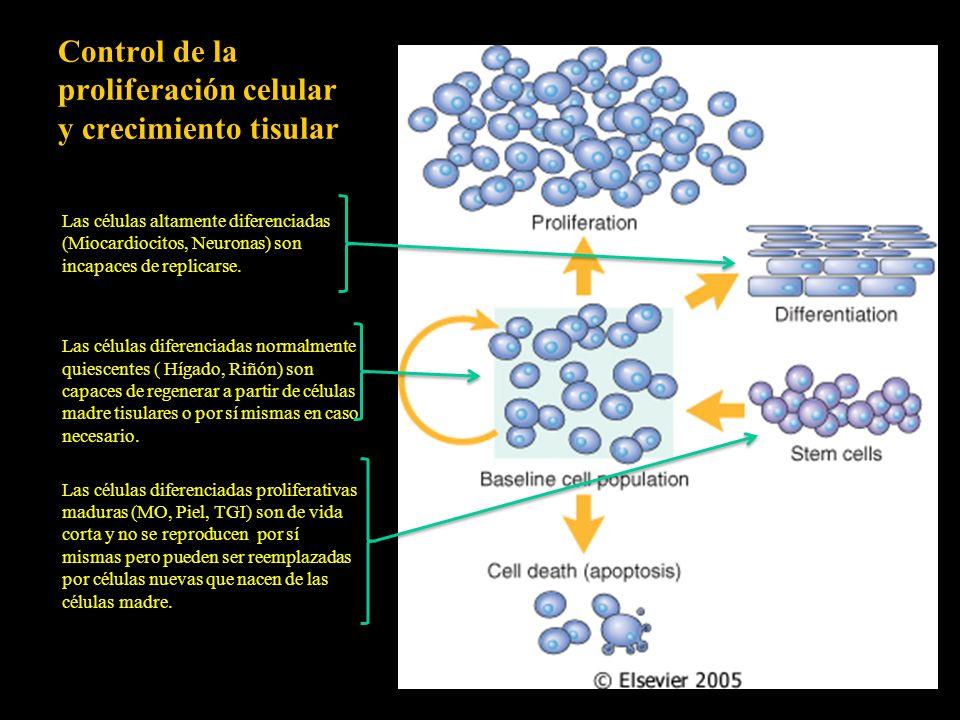 Control de la proliferación celular y crecimiento tisular Las células altamente diferenciadas (Miocardiocitos, Neuronas) son incapaces de replicarse.