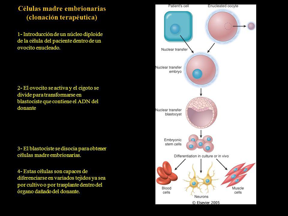 Células madre embrionarias (clonación terapéutica) 1- Introducción de un núcleo diploide de la célula del paciente dentro de un ovocito enucleado. 2-