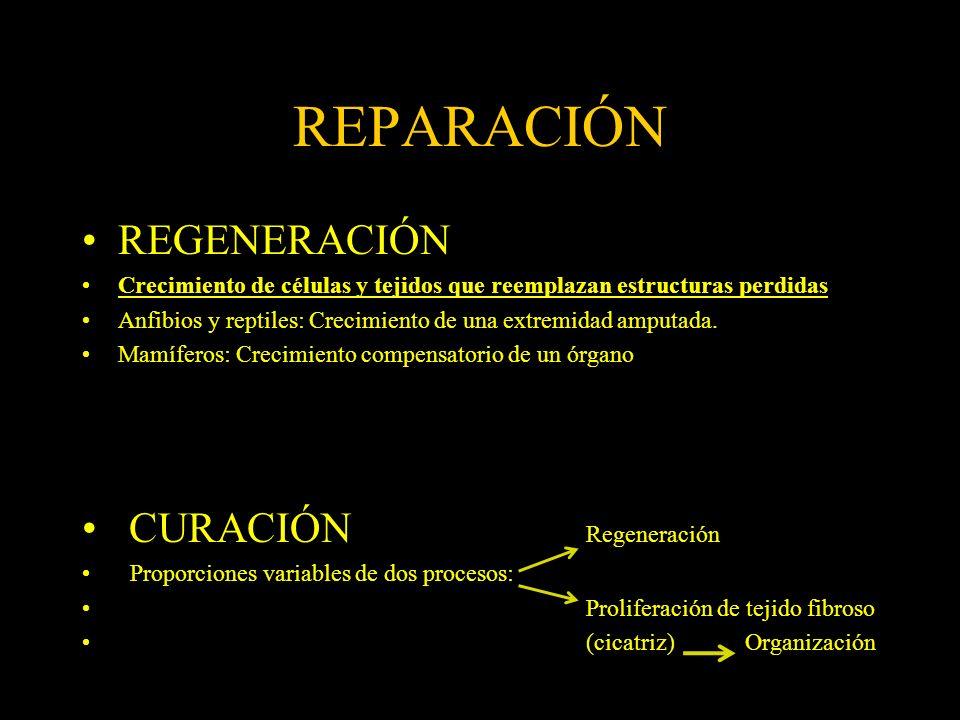 REPARACIÓN REGENERACIÓN Crecimiento de células y tejidos que reemplazan estructuras perdidas Anfibios y reptiles: Crecimiento de una extremidad amputa