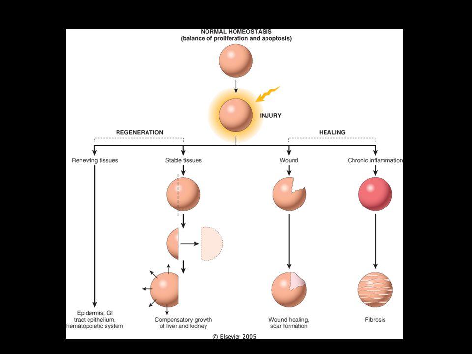 Curación células nuevas REGENERACIÓN ORGANIZACIÓN Parénquima (células especializadas) Estroma (tejido conectivo) Estructura normal Cicatriz Función celular normal No funcional X % X % Heridas (piel), procesos inflamatorios en órganos internos o necrosis celular en órganos incapaces de regenerar