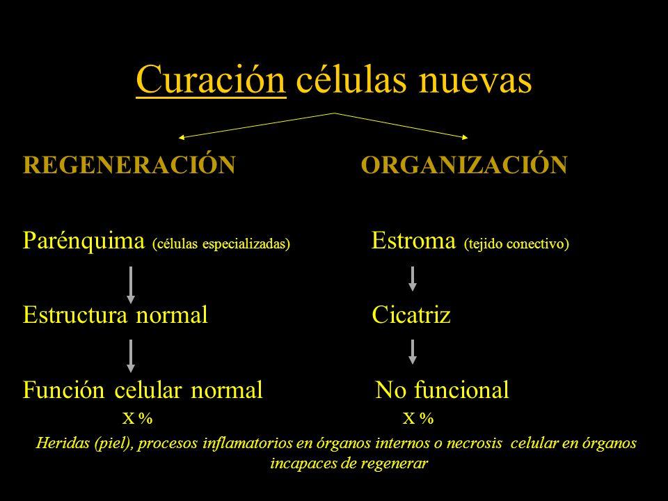 Curación células nuevas REGENERACIÓN ORGANIZACIÓN Parénquima (células especializadas) Estroma (tejido conectivo) Estructura normal Cicatriz Función ce