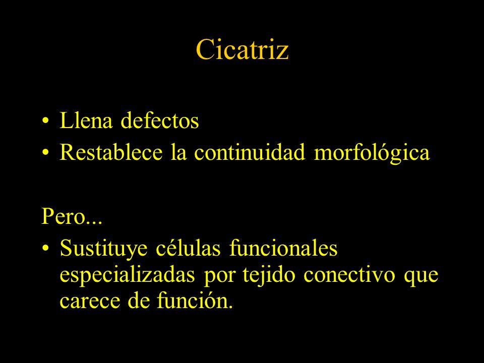 Clasificación de los tejidos (según el ciclo celular Bizzozero)* Lábiles...........................................