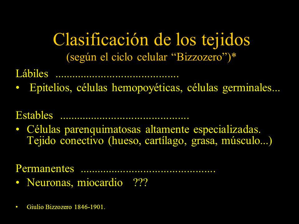 Clasificación de los tejidos (según el ciclo celular Bizzozero)* Lábiles........................................... Epitelios, células hemopoyéticas,