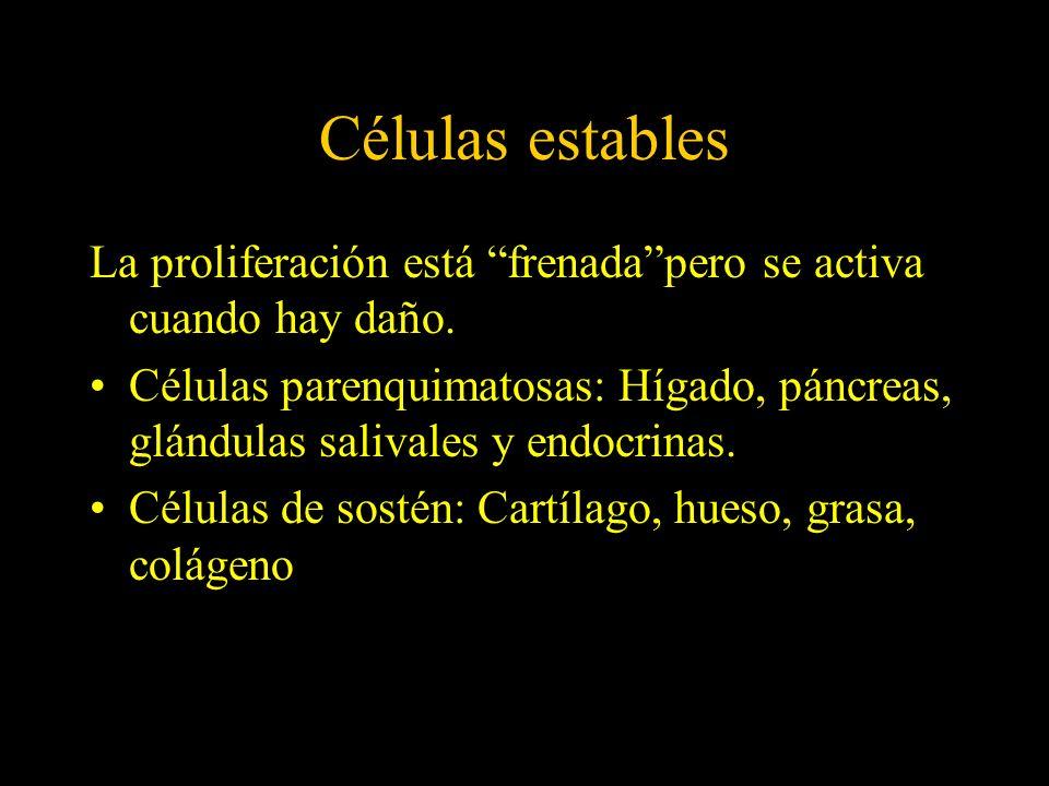 Células estables La proliferación está frenadapero se activa cuando hay daño. Células parenquimatosas: Hígado, páncreas, glándulas salivales y endocri