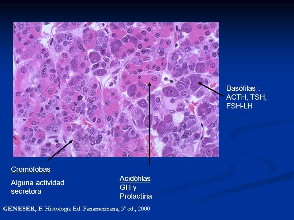 Acidófilas GH y Prolactina Basófilas : ACTH, TSH, FSH-LH Cromófobas Alguna actividad secretora GENESER, F.