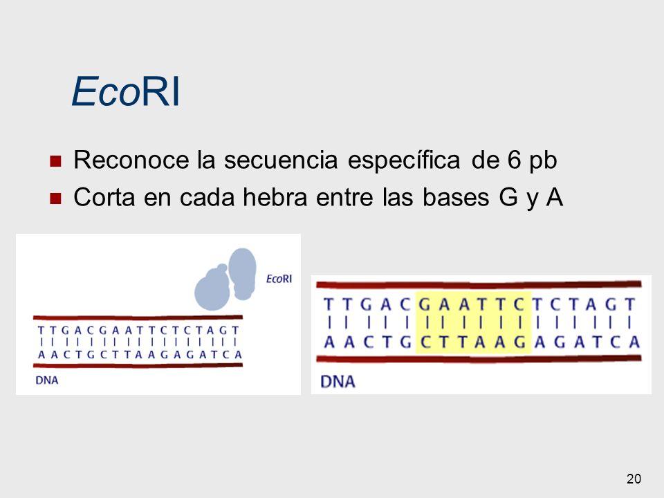 20 EcoRI Reconoce la secuencia específica de 6 pb Corta en cada hebra entre las bases G y A