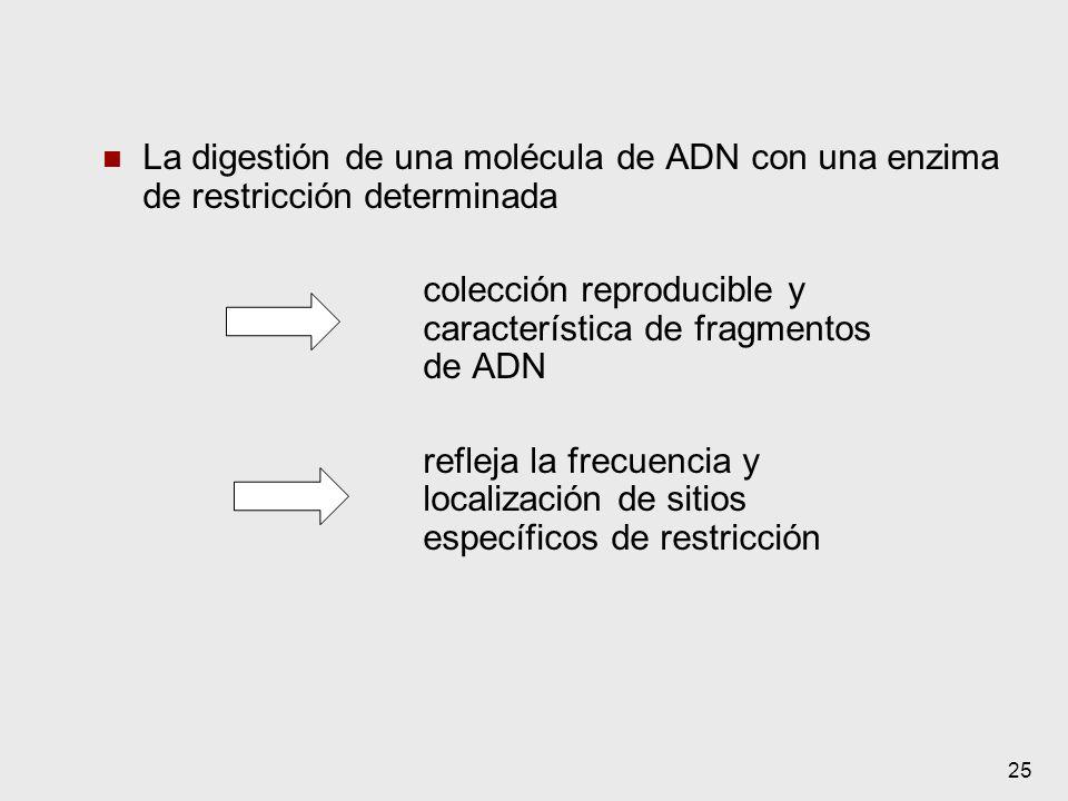 25 La digestión de una molécula de ADN con una enzima de restricción determinada colección reproducible y característica de fragmentos de ADN refleja