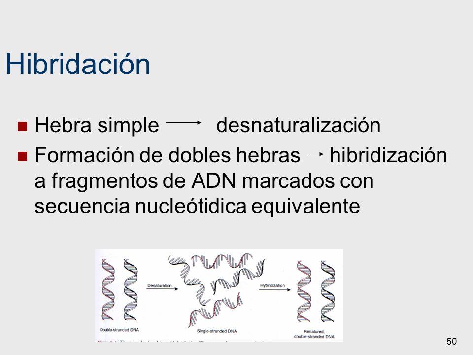50 Hibridación Hebra simple desnaturalización Formación de dobles hebras hibridización a fragmentos de ADN marcados con secuencia nucleótidica equival